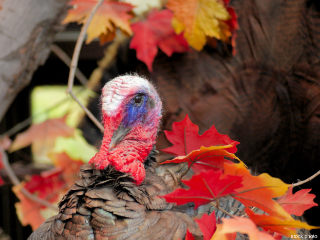 thanksgiving turkey623