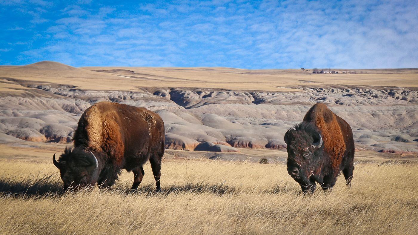 Buffalo head images