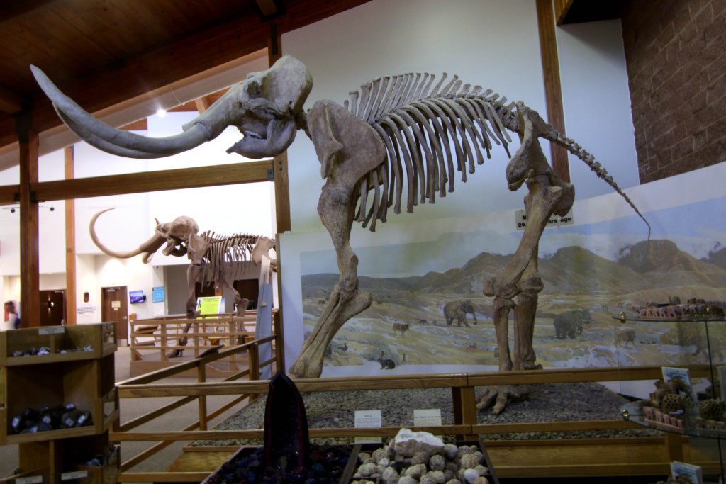 A wooly mammoth in the foreground compared to the much larger Columbian mammoth in the background.