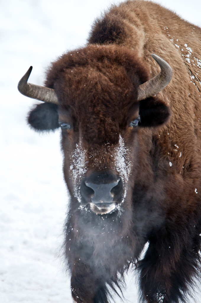 A buffalo exhaling in the cold South Dakota winter.