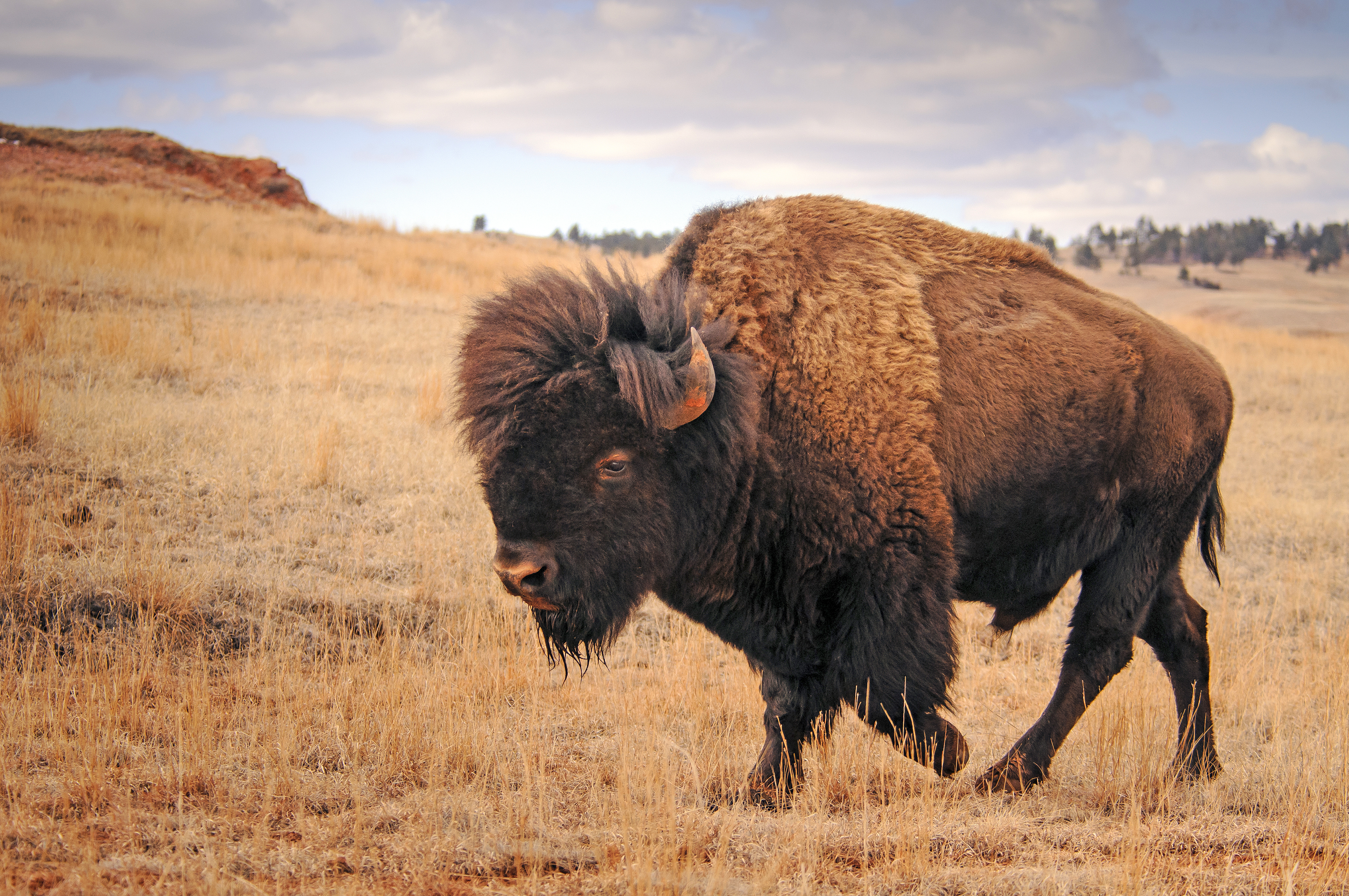 Patriarch Of The Plains Once Near Extinction American