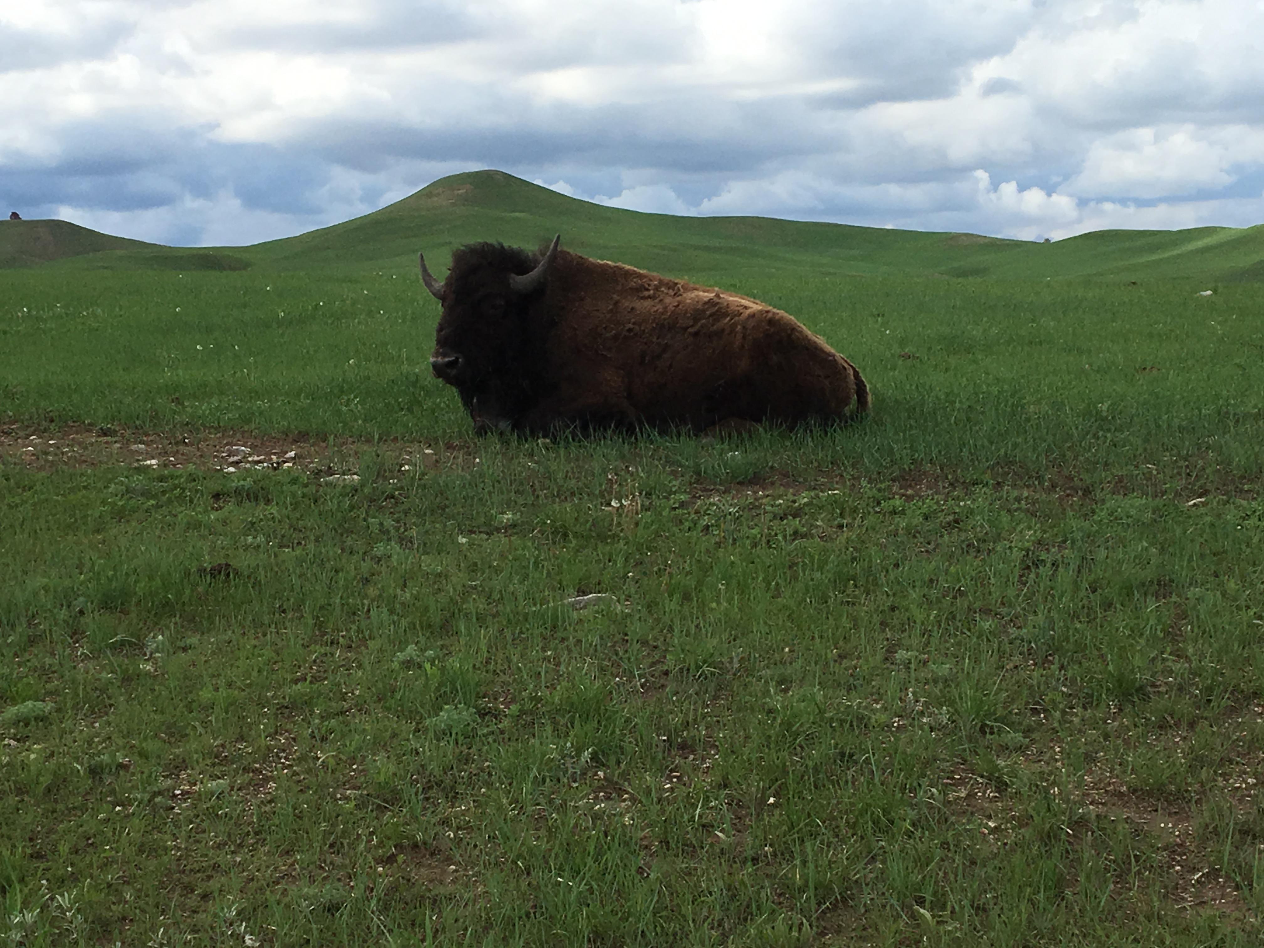 Beautiful Buffalo