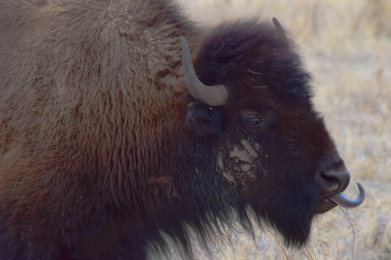 Buffalo Tongue
