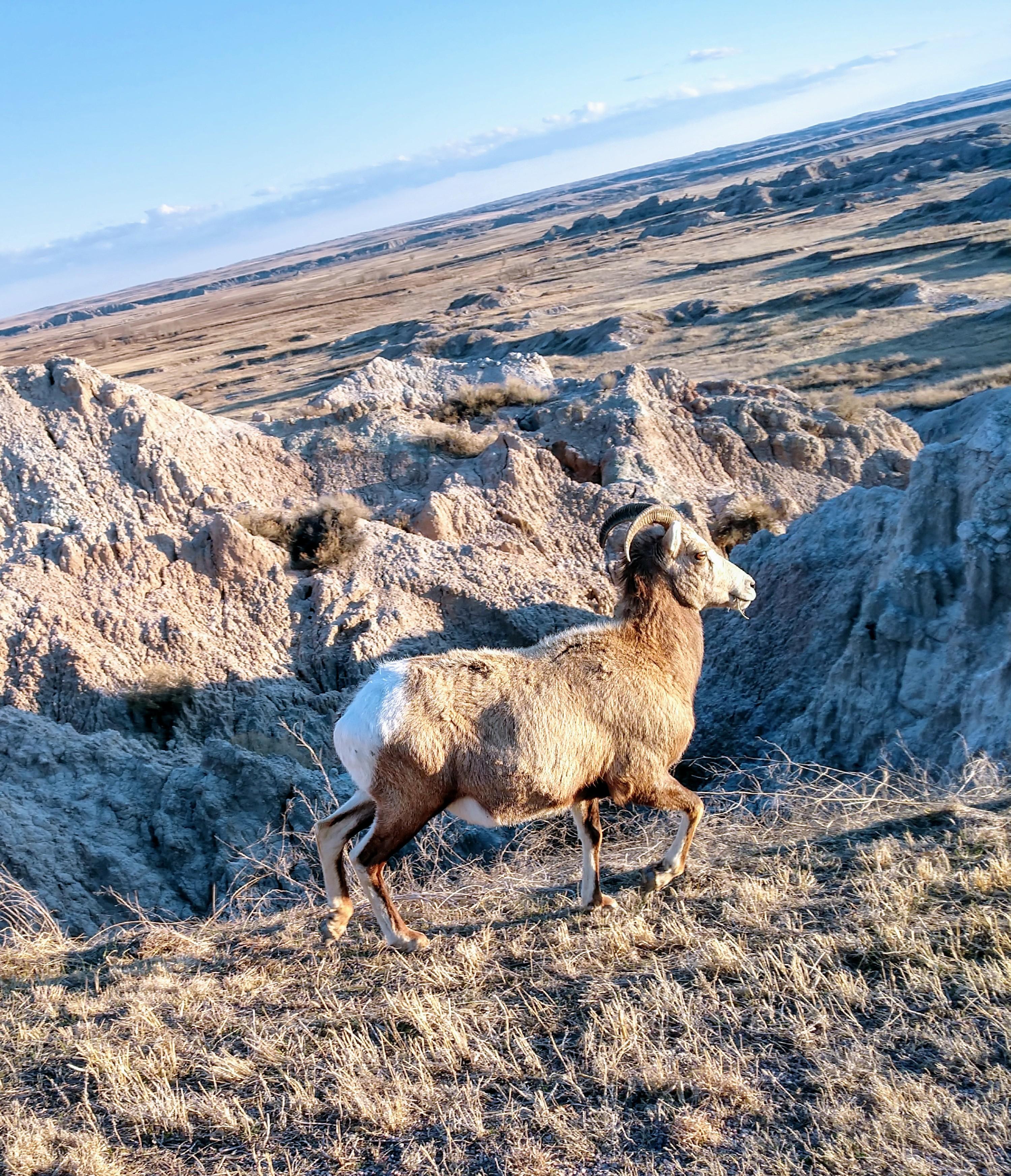 Badlands Wildlife