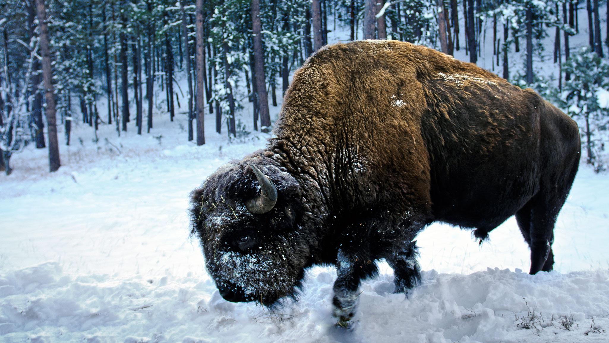 Winter In Custer State Park Black Hills Amp Badlands