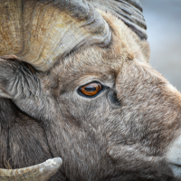 An Eye for Ewe - Badlands Bighorn Sheep