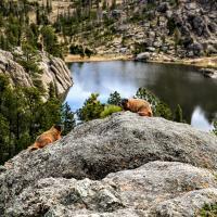 Sylvan Lake Marmots