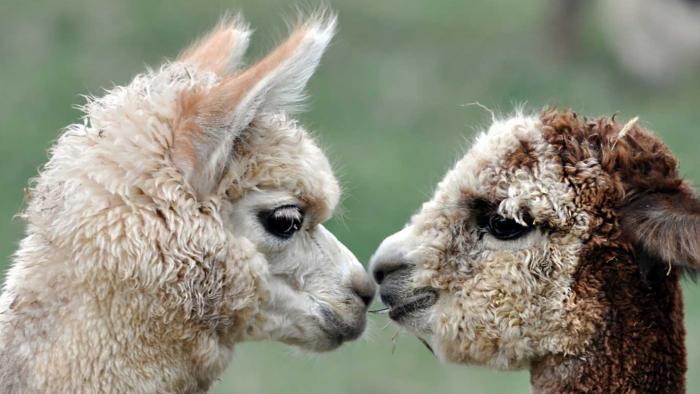 Caputa Alpacas and Guest Ranch