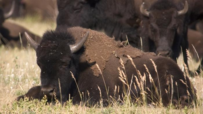 World Wildlife Day at Custer State Park