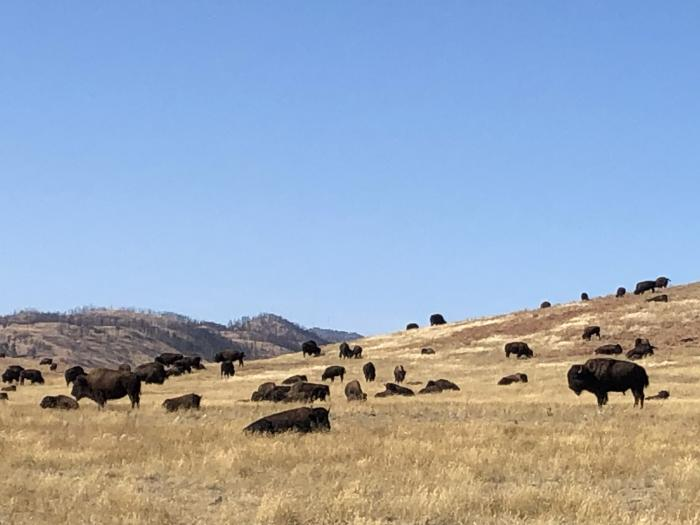 Custer State Park Roaming Bison