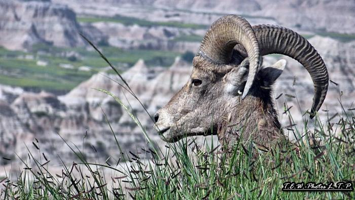 Bighorn / Badlands