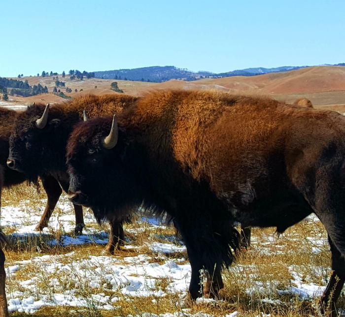 Bison Beauties