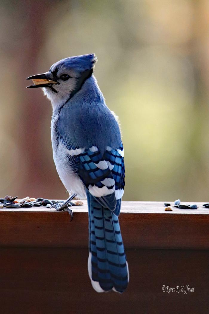 The Elusive Blue Jay