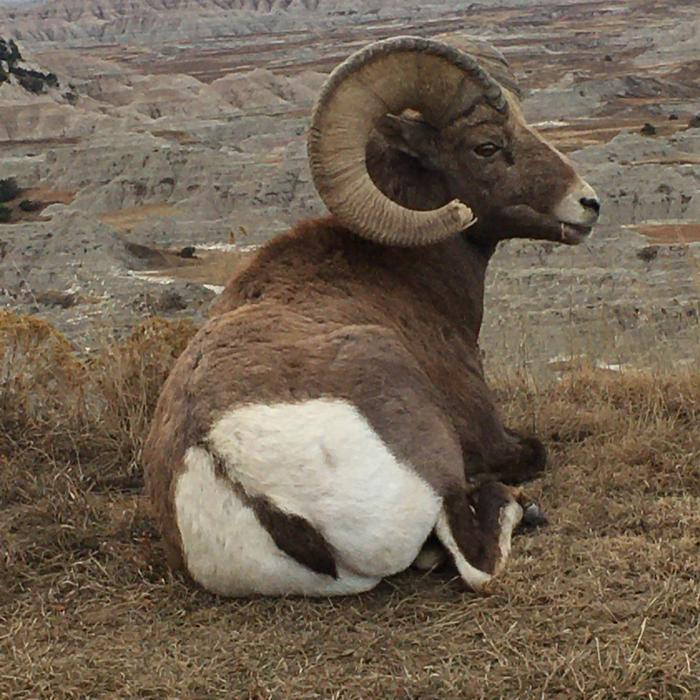 Badlands Bighorn Ram