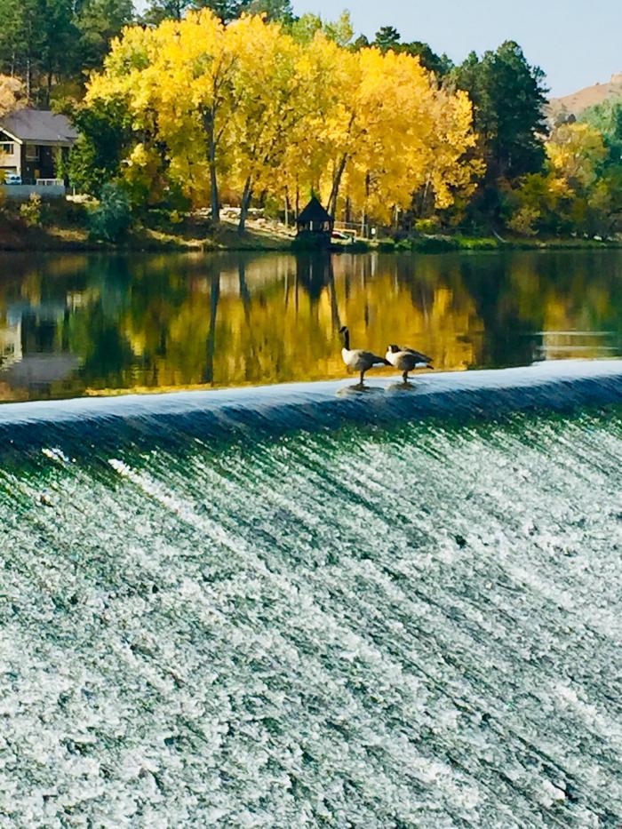 Geese Enjoying Canyon Lake
