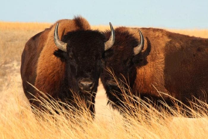 Brother Bison