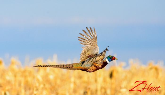 Pretty Pheasant