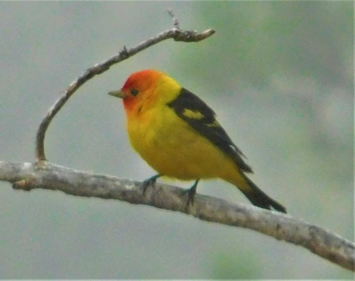 Western Tanager Showed Up This Morning