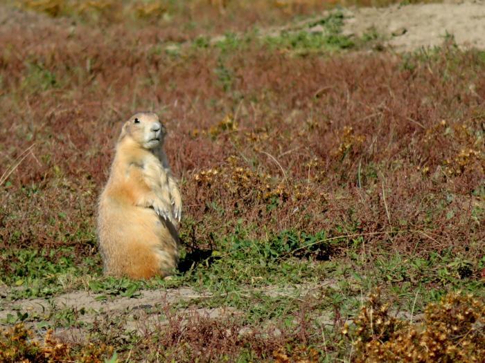 Sweet Prairie Dog in Badlands