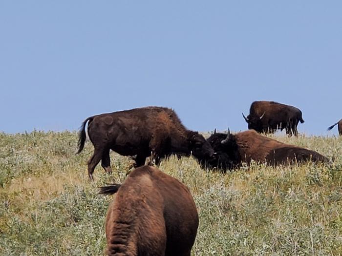 Bison Love