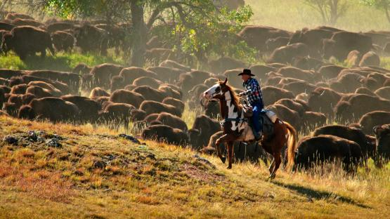 Custer State Park Buffalo Roundup & Arts Festival