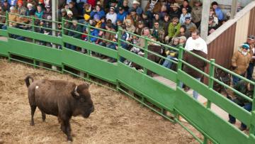 Custer State Park Buffalo Auction