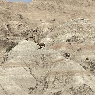 Bighorn Sheep in the Badlands