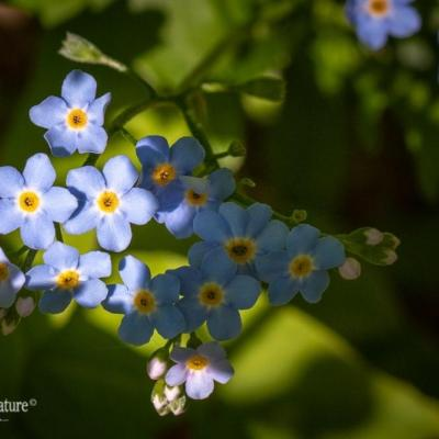 Forget-Me-Not in the Canyon