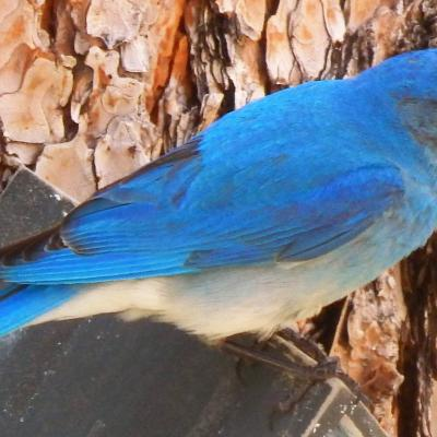 Beautiful Bluebird near Deerfield