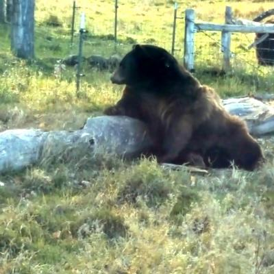 Relaxing in Bear Country