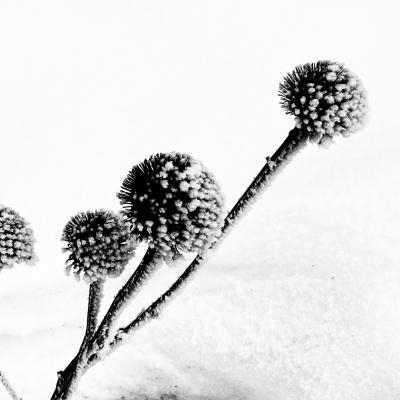 Black-Eyed Susans in the Snow