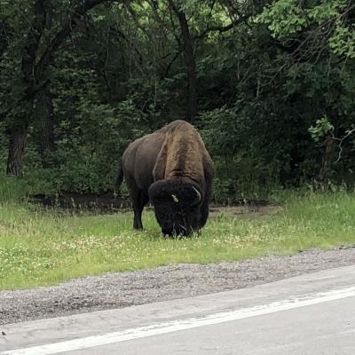 Buffalo Photo Shoot