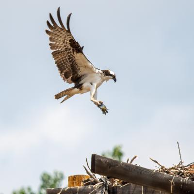 Canyon Lake Osprey