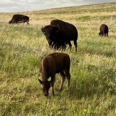 Buffalo Beauty