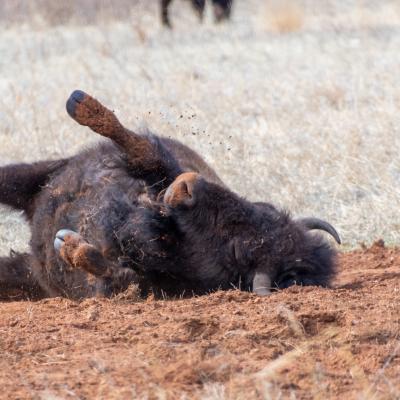 Wildlife Loop Buffalo