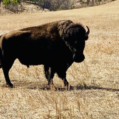 Where's the Buffalo