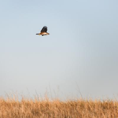 Badlands Hawk