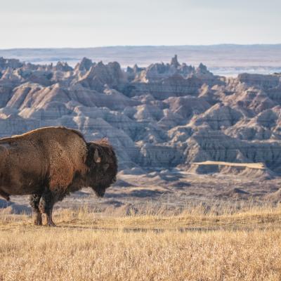 A Socially Distant Badlands Buffalo