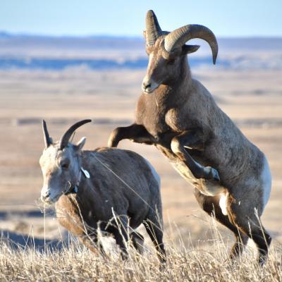 Badlands Bighorns