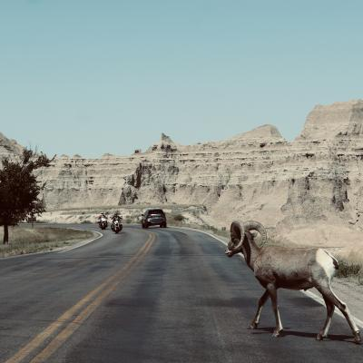 Bighorn in the Road