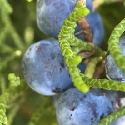 Juniper Berries (Macro Photo)