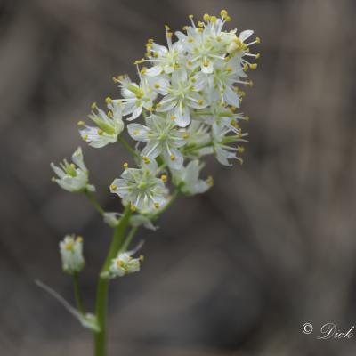 Black Hills Wildflower