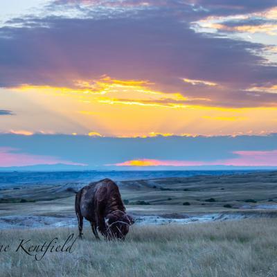 Buffalo in the Sunset