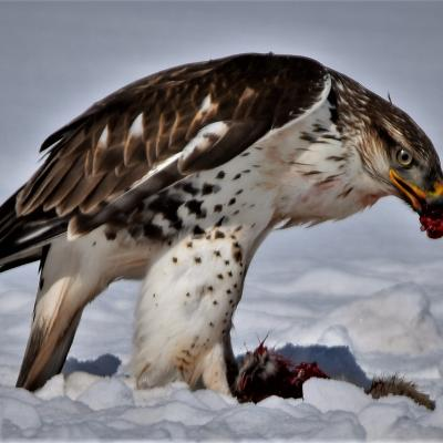 Hungry bird of prey.