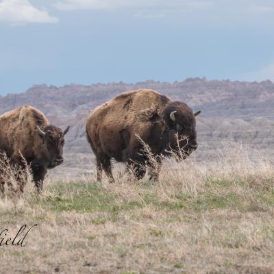 High Prairie Buffalo