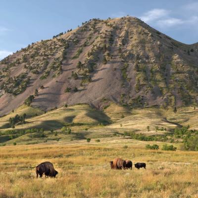Bison at Bear Butte