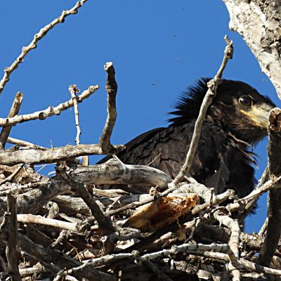 Bald-Headed Eaglet in the Nest