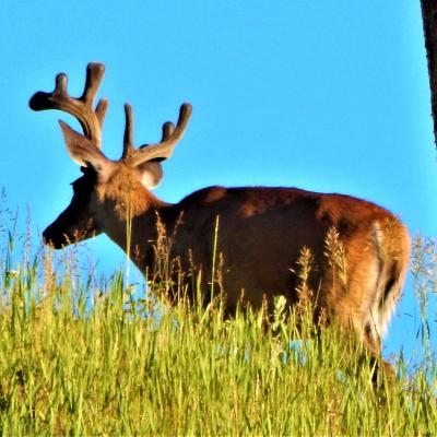 Huge Antler Buck