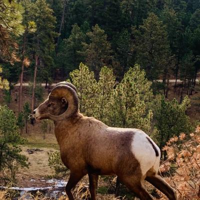 Custer State Park Ram