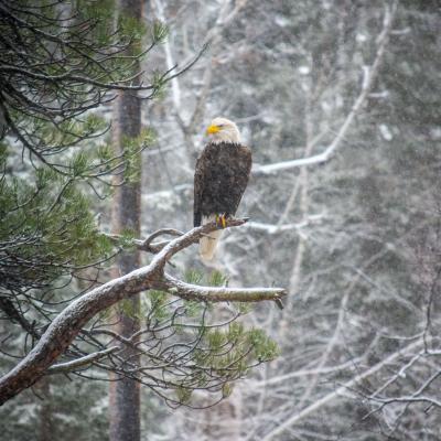 Canyon Eagle
